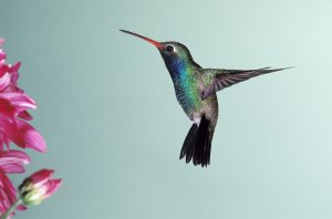 Ruby Throated Hummingbirds are very common